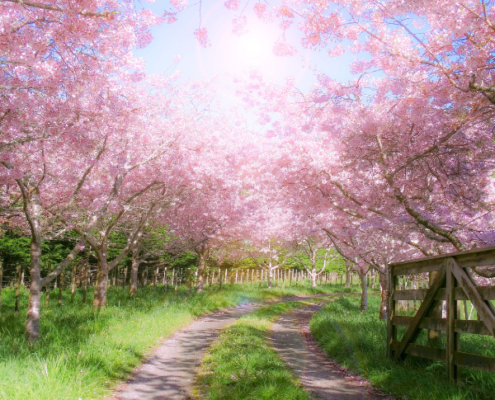cherry blossoms improve your day seven ways